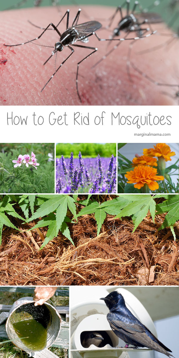How To Get Rid Of Mosquitoes Marginal Mama